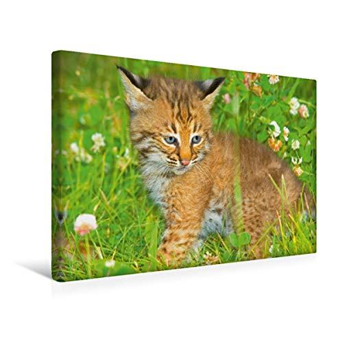 CALVENDO Premium Textil-Leinwand 45 x 30 cm Quer-Format Hallo Süßer – Niedliches Luchsbaby sitzt im Gras, Leinwanddruck Verlag
