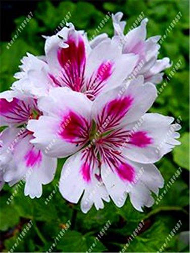 100pcs / sac graines de Géranium rouge rares graines de fleurs bonsaï plante vivace Pelargonium peltatum Graines Chambres intérieur pour le jardin à la maison 10