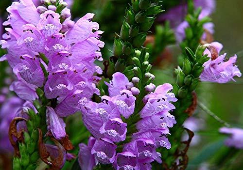Physostegia Mix semi di fiori 30 + rosso bianco obbediente pianta organica facile da coltivare semi per bonsai piantare giardino all'aperto coperta