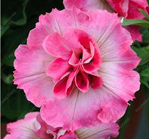 200 Graines Petunia Hanging rares Graines d'ornement fleur noire yeux fleur pourpre avec bord blanc jardin Plantes blanches
