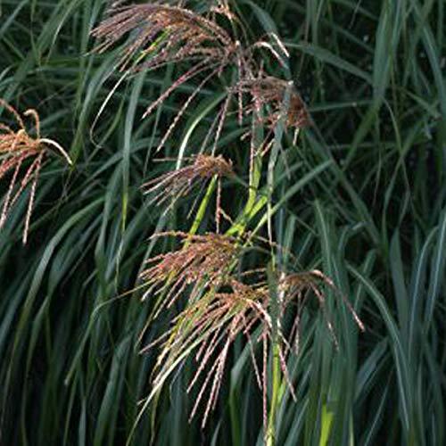 6 x Miscanthus Sinensis 'China' - Eulalie, roseau de Chine 'China' godet 9cm x 9cm
