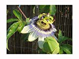 Blue PASSONFLOWER Passiflora coerulea - 10cm Tall Starter Seedling - The hardiest Passion Flower for The UK - Fast Growing Climber with Large, Blue Flowers