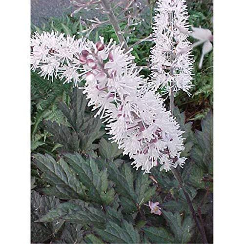 Cimicifuga ramosa 'Brunette' - Garten-September-Silberkerze 'Brunette' - 11cm Topf