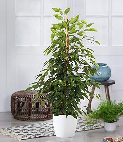 BALDUR-Garten Ficus benjamini