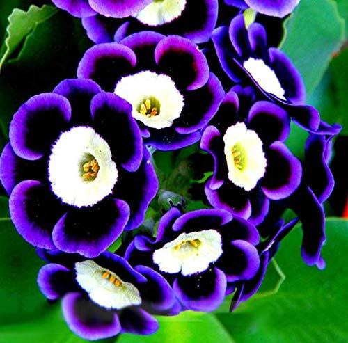 Tomasa Samenhaus- 100pcs Hänge Petunien Samen Blumensamen Petunia Mischung winterhart mehrjährig Zierblumen Saatgut für Balkon und Terrasse (#02)