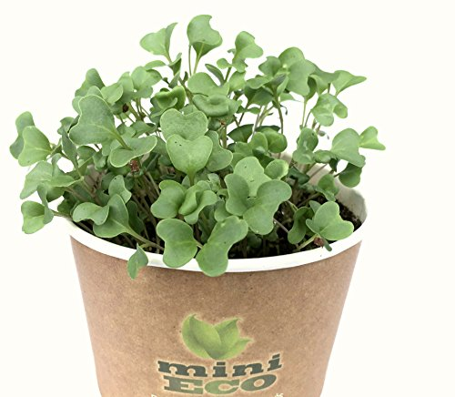 Organic Broccoli Microgreens Grow Kit. Approximately 2400 Seeds 0,3 oz. Best Seeds Sprouting Growing Set. Plant Planter Set Herbs Vegetables Micro Green Shoot Indoor Garden