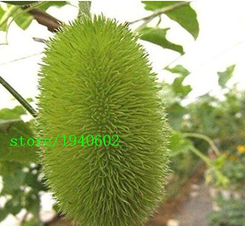 Semences végétales du Pepino de fruits décorative 50pcs/bag, petit Pepino Lindo,