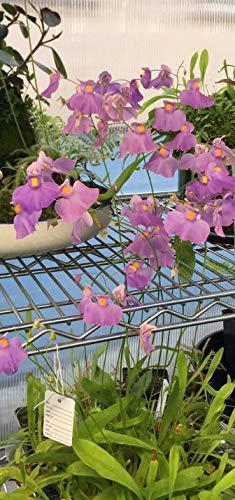 Live Tropical Carnivorous Plant Utricularia Longifolia Bladderwort - 3' Potted