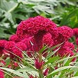 Mescola i semi colorati cresta di cresta di celosia semi 100+ giardino facile da coltivare fiore aperto semi impollinati per l'iarda domestica e la piantagione di giardino
