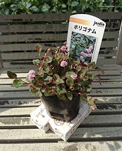 【花苗】 ポリゴナム 9cmポット 1苗 ハルディン