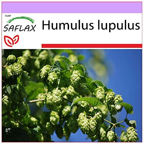SAFLAX - Lúpulo - 50 semillas - Humulus lupulus