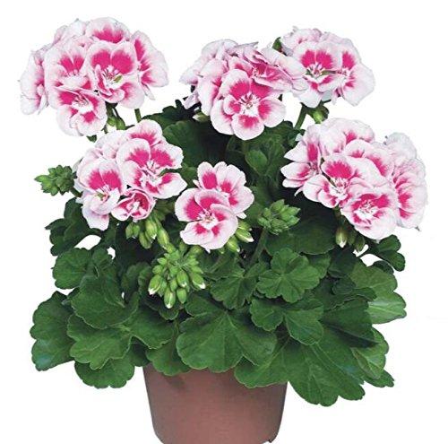 Deux couleurs Rouge Blanc univalve Géranium Graines Graines de fleurs vivaces Pelargonium peltatum Semences pour 100 graines Pièces d'intérieur/Sac 1