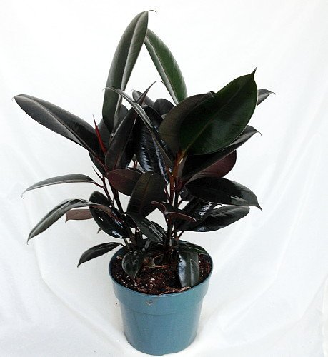 """Jmbamboo -Burgundy Rubber Tree Plant - Ficus - An Old Favorite - 4"""" Pot"""