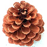 """24 Large Ponderosa Pine Cone 4"""" to 5"""" Tall 7"""" to 11"""" Circumference"""
