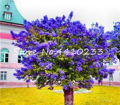 Bloom Green Co. 100 Unids Bonsais Bonsai Lila Púrpura, Flor De Clavo De Lila Japonesa Plantas De Ãrbol Al Aire Libre Muy Fragantes Hermosa Bonsais De Color Lila: