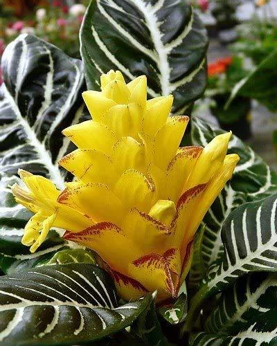 雪白色斑马植物- Aphelandra -奇异的和不寻常的家庭植物- 4