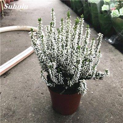 100pcs Belles aromatiques gypsophile Graines vrai étoilées fleurs en pot Gypsophila paniculata All Over The Sky Étoile Bonsai Fleur 5