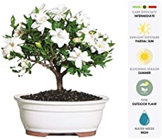 """Brussel's Live Gardenia Outdoor Bonsai Tree - 4 Years Old; 6\\"""" to 8\\"""" Tall with Decorative Container - Not Sold in Arizona"""