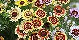 PREMIER SEEDS DIRECT - Chrysanthemum CARINATUM - Painted Daisy - 1000 Seeds