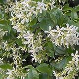 Trachelospermum Jasminoides- Jasmin étoilé 50-60 cm en conteneur