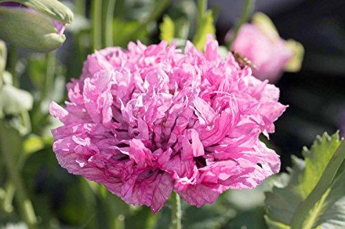 Asklepios-seeds® 1000 semillas de Papaver somniferum lilac pompom, pompón lila, Adormidera, Amapola real