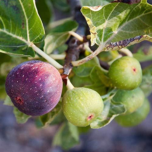 Ficus carica Rouge de Bordeaux, Fig Plant in 9 cm Pot