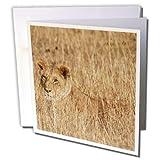 3drose weiblich Afrikanischer Löwe verschmilzt mit hohem Gras wie Sie Jagd. Serengeti natonal Park Tansania.–Grußkarten, 15,2x 15,2cm, Set 12(GC 45661_ 2)