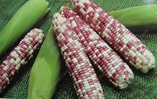 20pcs/sac noir rouge jaune corns graines de légumes graines de fruits jardin de bonsaïs semences potagères pour plantes à la maison pourpre