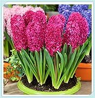 ヒヤシンス球根 - 春に咲く最も香りのよい植物ハイドロポニック珍しい家の園芸植物と花の装飾、植物球根花,-Red,1 球根