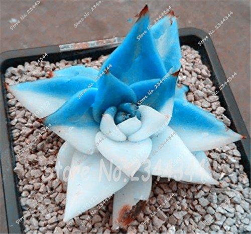 Semi di piante grasse rare più venduti Circa 50 pezzi Semi di cactus giapponesi Semi di fiori rari Semi di bonsai Piante da interno Vaso di fiori