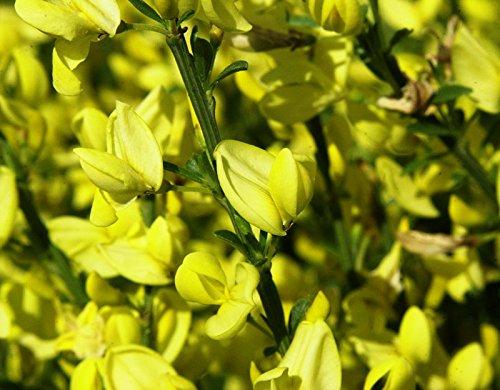 Gelb blühender Elfenbeinginster Cytisus praecox Allgold Containerware 40-60 cm