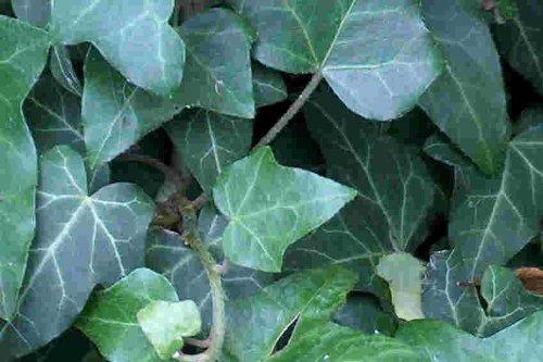 Mühlan Wasserpflanzen 120 Efeu Stecklinge Bodendecker, Garten