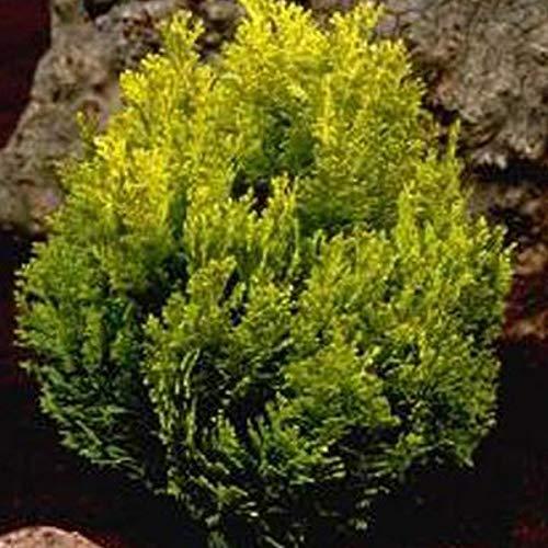 Chamaecyparis Lawsoniana 'Minima Aurea'- Faux cyprès 'Minima Aurea' 15-20 cm en conteneur