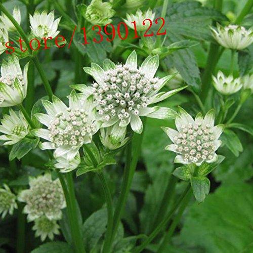 100große Sterndolde, Astrantia Samen, (großen Meisterwurz), Staff Star of Billion, Bonsai Blumensamen Topfpflanzen für Home Garten
