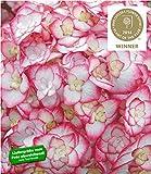 BALDUR Garten Hydrangea Miss Saori® Hortensien Hydrangea macrophylla 1 Pflanze Gartenhortensie winterhart