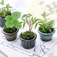 (山野草)苔盆栽 おまかせ山野草 豆鉢植え(1鉢)