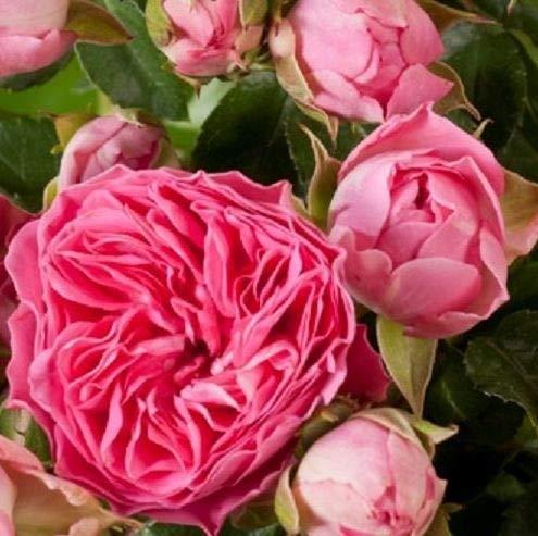 Edelrose 'Candy Rokoko'®, intensiv rosa Buschrose, wurzelnackt, winterhart, robust, mehrjährig, Qualität aus Müllers Baumschule, inkl. Pflanz- und Pflegeanleitung