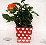 Valentine 'Coffee Plant' - Coffee/ decorative pot /Coffee Tree -unique from jmbamboo