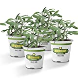 Bonnie Plants Garden Sage Live Herb Plants - 4 Pack, Easy to Grow, Non-Gmo, Perennial in Zones 5 To 8, Key Ingredient of Poultry Seasoning & Turkey Stuffing