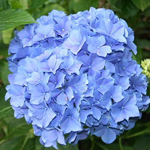 Hydrangea Macrophylla 'Blauer Zwerg' -...