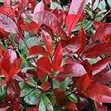 Pianta di Photinia Red Robin Fotinia h.80/100 cm