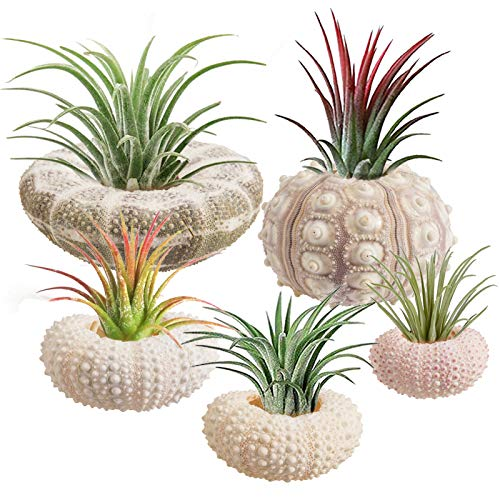 5 Pack Mini Sea Urchin Shell Plant Pot- Decorative Air Plant Holder in 5 Styles Adorable Tabletop Tillandsia Succulent Display Container for Home Garden Decor Beach Theme Party Favors (1.4- 3.7 Inch)