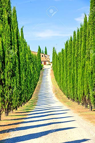 Italian Cypress Seeds for Planting | 50 Seeds | Exotic