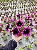 Zoom IMG-2 pianta petunia mix colori vaso
