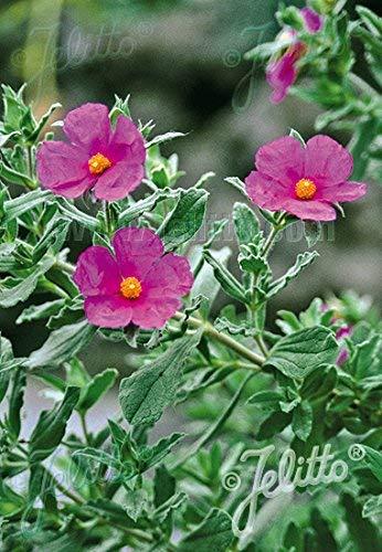Pinkdose25 Taurische Felsenrose, (SAMEN) CISTUS incanus ssp. Taurikus