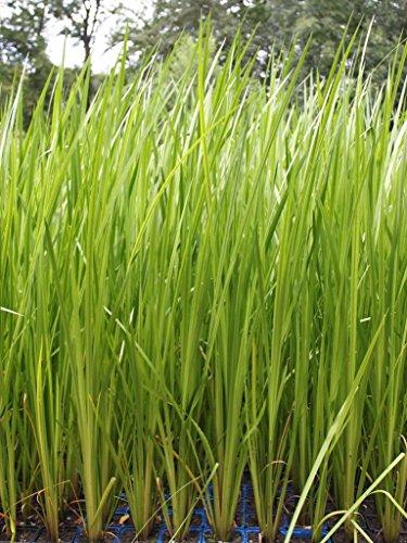 Wasserpflanzen Wolff - Acorus calamus - Kalmus