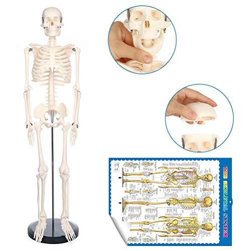 Human Skeleton Model for Anatomy Mini Human Skeleton Model with Metal Stand - 33.4 Inches Tall with Removable Arms and Legs Scientific Model for Display Study