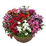 Semi di fiori Changxia Dianthus/Semi di fiori Crisantemo cinese di pietra 300 capsule