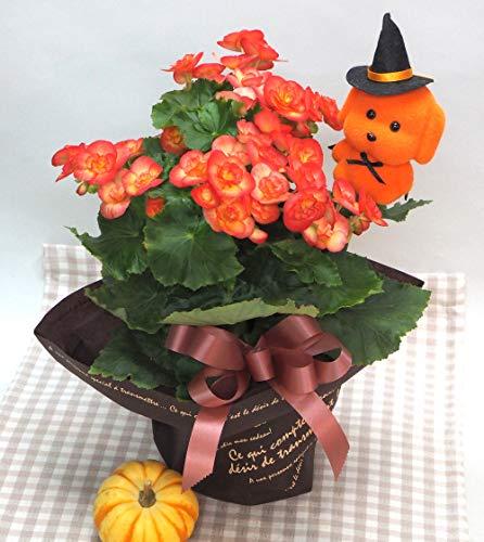【 花想久里 はなおくり エラチオールベゴニア 5寸 生 鉢花 】 ハロウィン わんこピック・かぼちゃ(生)・ラッピング付 誕生日 開店祝い フラワーギフト ご自宅に オレンジ の リーガースベゴニア