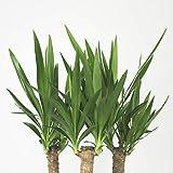 Inter Flower -Yucca Palme Elephantipes 70 cm +